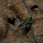 Młody Skakun cienkoczułki (Tetrix tenuicornis)