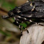 Prawdopodobnie Diurnea fagellata - samica