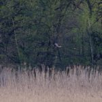 Błotniak stawowy (Circus aeruginosus) - samica