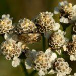 Tasznikowate (Miridae syn. Capsidae) na Krwawniku pospolitym (Achillea millefolium)