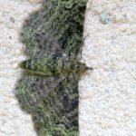 Grotniczek Owocowiec (Pasiphila Rectangulata)