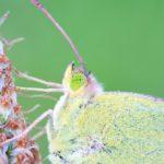 Szlaczkoń Siarecznik (Colias Hyale)