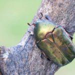 Kruszczyca Złotawka (Cetonia Aurata)