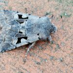 Piętnówka wiciokrzewka (Orthosia gothica)