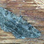 Przylepek kruszyniak (Aethalurva rhomboidaria)