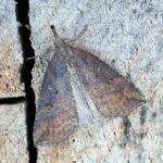 Prawdopodobnie Rozszczepka nosatka (Hypena rostralis) - samica