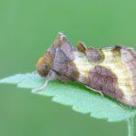 Błyszczka spiżówka (Diachrysia chrysitis)