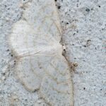 Ciemnokres wierzbowiec (Cabera pusaria)
