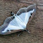 Ćma bukszpanowa (Cydalima perspectalis)