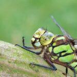 Żagnica sina (Aeshna cyanea) - samica