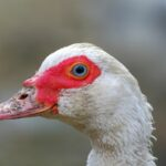 Domowa Kaczka piżmowa (Cairina moschata)