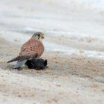 Pustułka (Falco tinnunculus) z kosem w roli obiadu