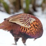 Bażant (Phasianus colchicus) - kogut